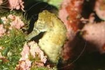 � Author unknown<br>foto Hippocampus capensis - tamanho : 12 cm<br>from South Coasts South Africa<br>(subtropical-water)
