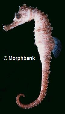 � Morphbank.net<br>foto Hippocampus fisheri<br>tamanho : 8 cm<br>from West Pacific<br>Hawaii, Lord Howe Island<br>New Caledonia (tropical-water)