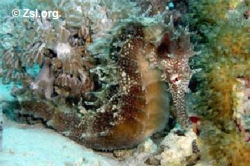 � Zsl.org<br>foto Hippocampus jayakari - tamanho : 15 cm<br>from Red sea, Arab sea<br>(tropical-water)