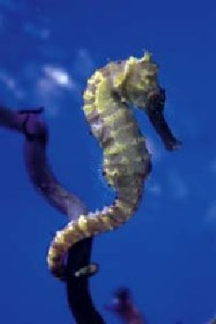 � Author unknown<br>foto Hippocampus kelloggi - tamanho : 25 cm<br>from South Japan, China sea possible<br>(deep-water)