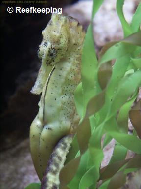 � Reefkeeping.com<br>foto Hippocampus kuda - tamanho : 30 cm<br>from Singapore to Java, Japan Islands possible<br>(tropical-water)