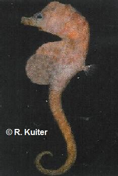 � R. Kuiter<br>foto Hippocampus minotaur<br>tamanho : 5 cm from South Australia<br>(deep-water)