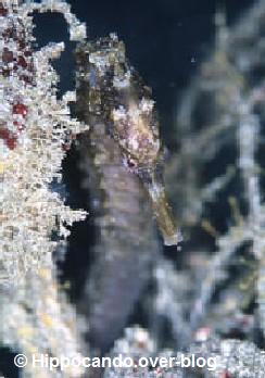 � Hippocando.over-blog.com<br>foto Hippocampus trimaculatus<br>tamanho : 16 cm<br>from Indian sea, China sea<br>(tropical-water)