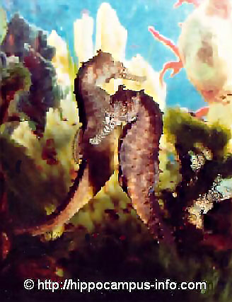 � photo 24 Seahorses convalescing