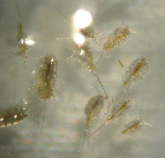 � photo 48 Copepod