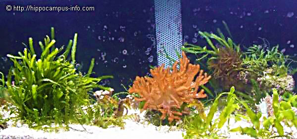 © photo 63 Aquarium/Caulerpes